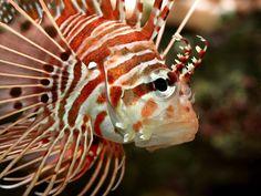 Pterois antennata - Antennen-Feuerfisch
