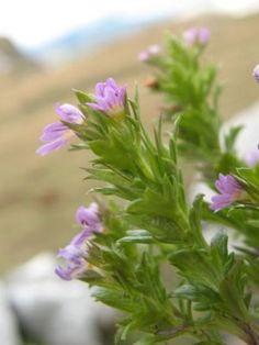 Euphrasia salisburgensis -