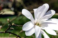 Magnolia by Sebastian Lacherski on 500px