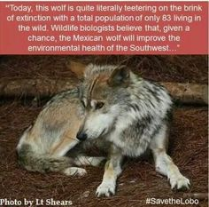 15 True WTF Facts About Wolves - World's largest collection of cat memes and other animals Animals And Pets, Funny Animals, Cute Animals, Beautiful Creatures, Animals Beautiful, Facts About Wolves, Of Wolf And Man, Wtf Fun Facts, Random Facts