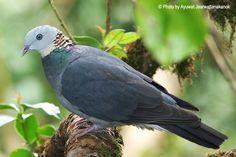 Ashy Wood Pigeon (Columba pulchricollis)