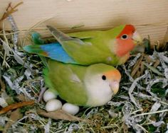 Items similar to Two Colorful Pet Birds Lovebirds Nest Eggs Mother Hen Bird Sitting on Eggs with Father Bird Child's Art Nature Photography Photo Print on Etsy Love Birds Pet, All Birds, Cute Birds, Pretty Birds, Beautiful Birds, Animals Beautiful, Beautiful Creatures, Exotic Birds, Colorful Birds