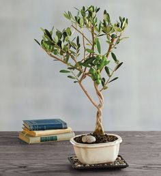 Olive Plant, Indoor Bonsai Tree, 800 Flowers, Olive Tree, Winter Night, Ceramic Decor, Evergreen, Herbs, Modern