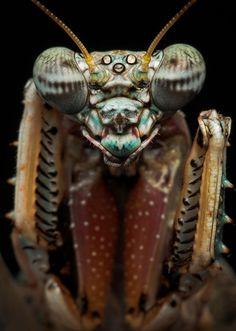 Mante religieuse (mantis)