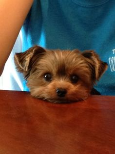 Baby Yorkie so cute! Reminds me when my Yorkie was a puppy. Yorkshire Terriers, Yorkshire Terrier Haircut, Tiny Puppies, Cute Puppies, Cute Dogs, Lab Puppies, Poodle Puppies, Baby Yorkie, Yorkie Puppy