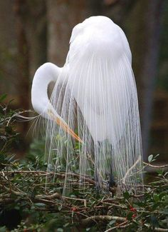 Beautiful white egret - #birds