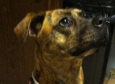 Brandy is an adoptable Catahoula Leopard Dog Dog in Stone Mountain, GA. This is Brandy, a Beautiful Brindle Boxer mix. She is reddish brindle having a short but soft coat with Tiger Stripe markings....