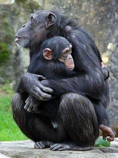 オーストラリアのシドニーにある動物園で飼育されているチンパンジーの親子=2011年9月(AFP=時事) ▼5Dec2014時事通信 「チンパンジーは人間でない」=自由認めず、保護団体の訴え棄却-米裁判所 http://www.jiji.com/jc/zc?k=201412/2014120500492
