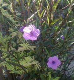 Bunga Purple Showers Terkena Cahaya Matahari