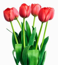 Tulips 60 Ct stems Red,Pink,White,Yellow (Fresh) - Go Shop Home & Garden Cut Flowers, Fresh Flowers, Beautiful Flowers, Bright Flowers, Red Tulips, Red Roses, Floral Design School, Garden Bulbs, Red And Pink