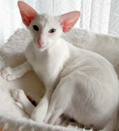 Siamese Cat White oriental More - I Love Cats, Crazy Cats, Cool Cats, Beautiful Cat Breeds, Beautiful Cats, Kittens Cutest, Cats And Kittens, Cats Bus, Oriental Shorthair Cats