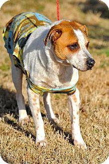 Still alive 4/26 Johnson City, TEN - Rhodesian Ridgeback Mix. Meet Boy a Dog for Adoption.