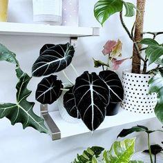 Room With Plants, House Plants Decor, Exotic Plants, Tropical Plants, Terrarium Plants, Garden Plants, Planta Alocasia, Indoor Plants Names, Peonies And Hydrangeas
