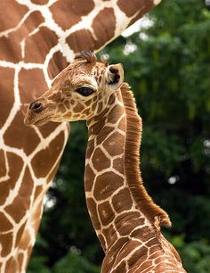 Long Necked Baby- Baby Girafe and its mother . . .