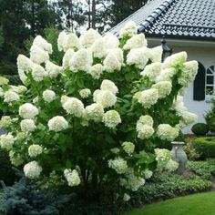 Limelight Hydrangea, Hydrangea Paniculata, Plants, Flowers, Hydrangeas, Planters, Plant, Planting