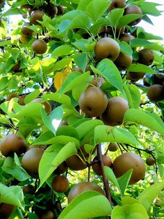 how to grow asian pears