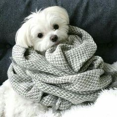 Mochi, a Maltipoo (Maltese / Toy Poodle) Designer Dog Cute Baby Animals, Animals And Pets, Funny Animals, Mini Malteser, Beautiful Dogs, Animals Beautiful, Cute Puppies, Cute Dogs, Maltese Dogs