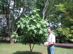 Full size picture of Common Fig, Edible Fig, Higo 'Brown Turkey ...