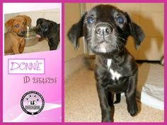 SAFE --- ~$50.00 ADOPTION FEE THROUGH AUG. 15~ ~AVAILABLE FOR ADOPTION~ DONNIE DC 3 (WAS DH 313) ID 23543293  2 MONTH OLD LABRADOR RETRIEVER MIX, UNALTERED MALE, 4 LBS EXPECTED SIZE SMALL TO MEDIUM  City of Arlington, TX - Animal Services. https://www.facebook.com/PAAStx/photos/a.528498807186852.1073741866.234124973290905/718859231484141/?type=3&theater