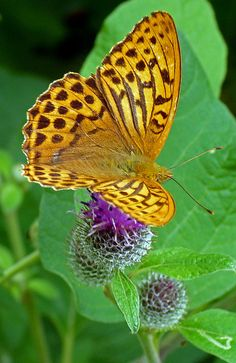 Silver-Washed Fritillary (Argynnis paphia) The male possesses scent scales on the upper side of the forewing that run along veins one to four. The scent produced from these scales attracts females and helps to distinguish it from other species