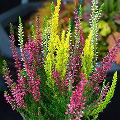 Tri Coloured Bud Blooming Heather  3 Bud Blooming heathers in one pot. Long lasting colour for your garden or containers. www.artsnursery.com Amazing Flowers, Flowers, Autumn Garden, Bloom, Front Garden, English Garden, Winter Flowers, Outdoor Planters, Flower Landscape