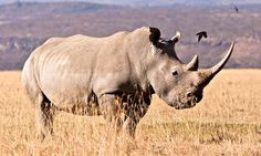 White Rhino is the largest of the rhino species. And rhinos are the largest land mammal in the world, next to the elephant. Southern white rhinos has a tandem horn, which means their front horn is longer. Rhino Species, Endangered Species, Lesotho Flag, Rhino Pictures, White Rhinoceros, You Are The Father, Wildlife Photography, We The People, Beautiful Creatures