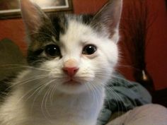 Casanova is an adoptable Domestic Short Hair-White Cat in St. Louis, MO. Hey, everybody! I'm Casanova! Thanks for checking me out. About me: I'm still a baby, about 6 weeks old (as of 4/12/12), but I'...