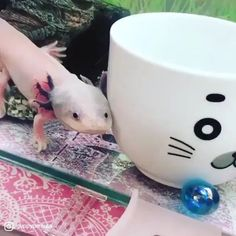 Cute Axolotl In Action - He know if he stayed in front of a camera and he take adorable action. All credit to Guppy Pemula - Funny Animal Videos, Cute Funny Animals, Cute Baby Animals, Cute Creatures, Beautiful Creatures, Animals Beautiful, Nature Animals, Animals And Pets, Axolotl Cute