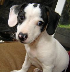 Dachshund - Jack Russell mix puppy, from Daily Puppy