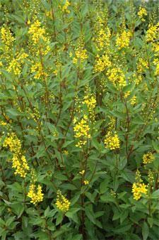 Plant of the Month: Thryallis – Galphimia gracilis