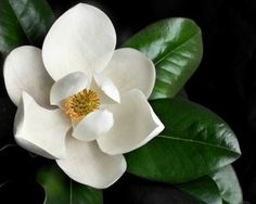 Magnolia the quintessential flower of the south magnificent trees magnolia grandiflora mightylinksfo