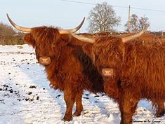 Highland cattle - Wikipedia, the free encyclopediaI I will hate what precedes it, but can't wait to see these animals going through the dungeon hallway! Highlands, Highland Cattle, Outlander, Lions, Animal Pictures, Cow, Country Living, Tigers, Farming