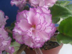 african violet YaN-Menuet (Puminova)