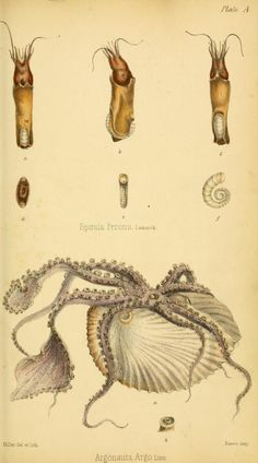 Initiamenta conchologica, or, Elements of conchology : - Biodiversity Heritage Library