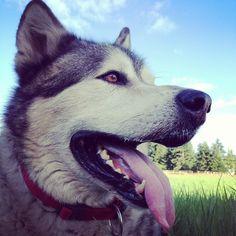 My big teddy bear // giant Alaskan malamute // rescue dog