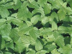 Cómo cultivar menta verde | eHow en Español
