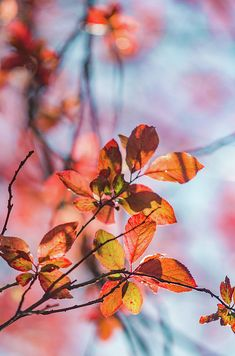 Orange and red leafs against blue sky