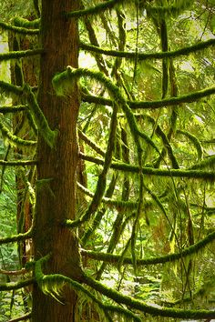 Cathedral Grove, Vancouver Island.  So beautiful.