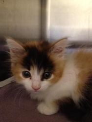 Caramel is an adoptable Calico Cat in Folsom, CA. Caramel was found as a stray along with her sister Butterscotch. These kittens are apporximately 6 weeks old and should be availabe to go to new home ...