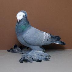 Blue white bar Saxon Priest -- Best Saxon Field Color Pigeon