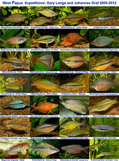 Rainbowfish Forum :: View topic - Two Types of Rainbowfish Posters