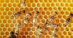 Algunos de los culpables detrás del trastorno del colapso de las colmenas incluyen a los pesticidas, insecticidas, virus, hongos y la falta de áreas de alimentación naturales. http://espanol.mercola.com/boletin-de-salud/muerte-de-las-abejas.aspx