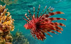 animals fish lionfish underwater see exotic red (to get full size image visit the site) Unusual Wallpaper, Live Wallpaper For Pc, World Wallpaper, Fish Wallpaper, Wallpaper Pictures, Animal Wallpaper, Live Wallpapers, Friends Wallpaper, Iphone Wallpaper