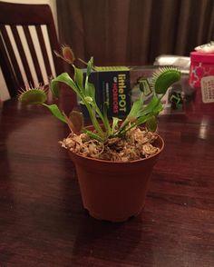 My new child  #venusflytrap #littlepotofhorrors by daisyferrarii