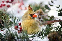 cardinal snow - Google Search