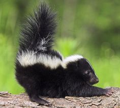 Skunk spray is pungent and oily. It's hard to remove and the longer you wait, the harder it is to neutralize. Here's how to get rid of skunk smell. Beautiful Creatures, Animals Beautiful, Getting Rid Of Raccoons, Skunk Spray, Striped Skunk, Skunk Smell, Baby Animals, Cute Animals, Wild Animals