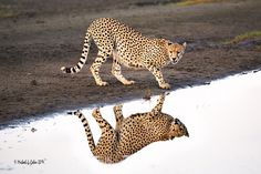 Cheetah Reflection - Flickr - Photo Sharing!