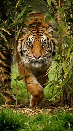 Tiger Photo by Paul Hayes — National Geographic Your Shot Photo de tigre par Paul Hayes – National Geographic Votre tir Nature Animals, Animals And Pets, Cute Animals, Animals In The Wild, Wildlife Nature, Jungle Animals, Forest Animals, Beautiful Cats, Animals Beautiful