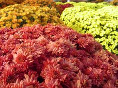 Fall Mums - Pork and Plants