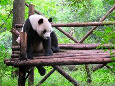 panda sat down - Google Search
